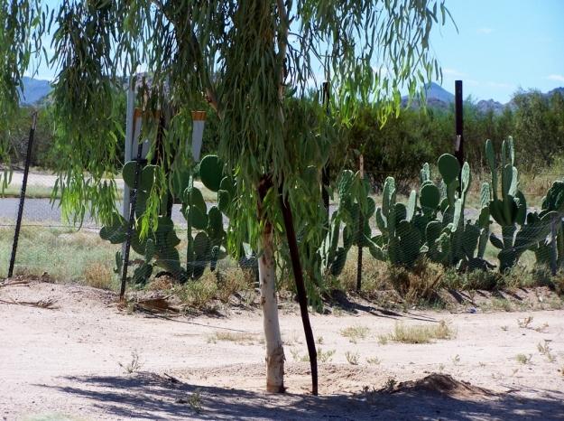 Javelina Cactus
